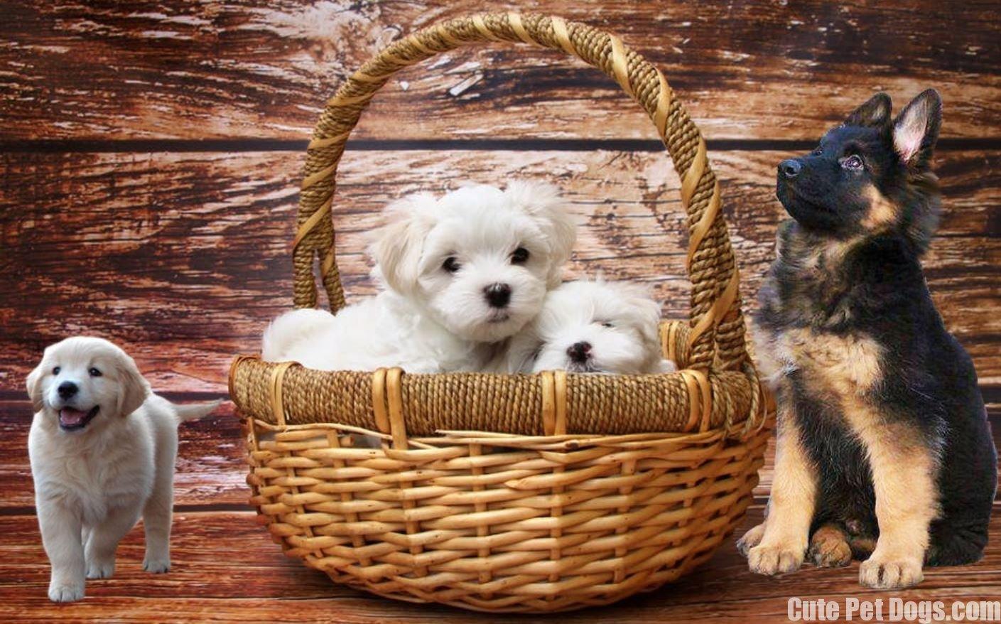 Cute Pet Dogs Cute Puppies Cute Dogs Cute Dog Breeds