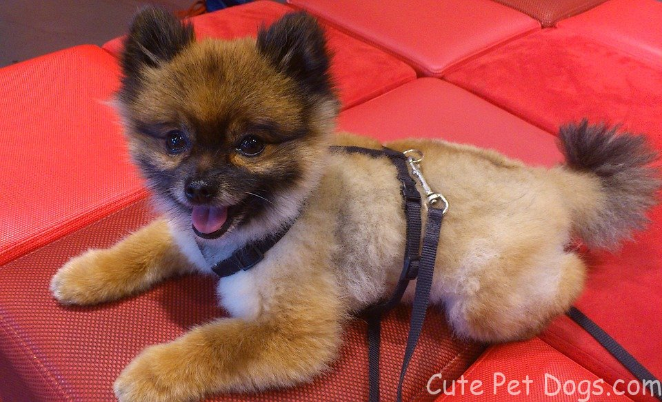 Pomeranian Dogs And Cute Teacup Pomeranian Puppies Cute Pet Dogs