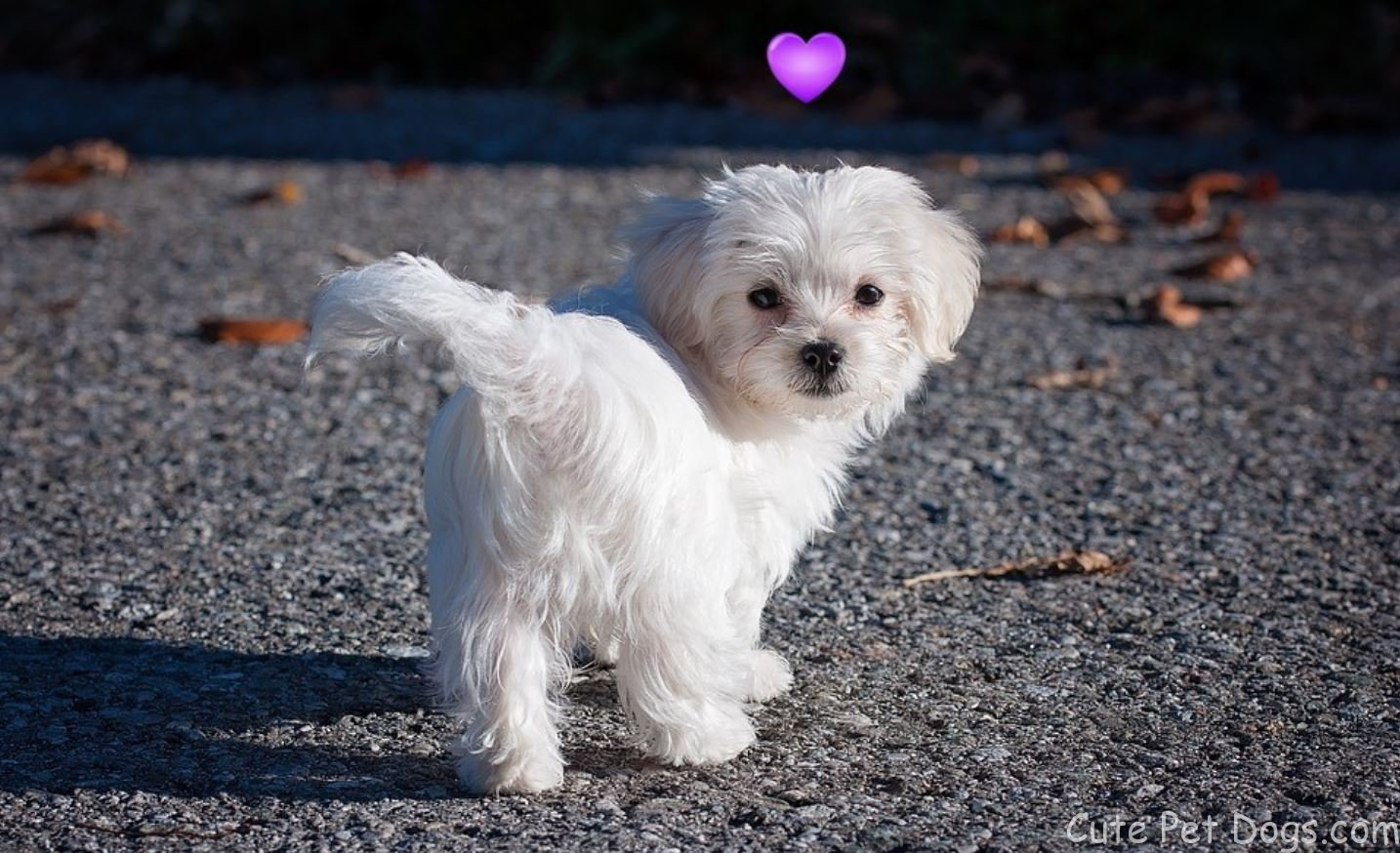 Maltese Dogs and Cute Teacup Maltese Puppies | Cute Pet Dogs