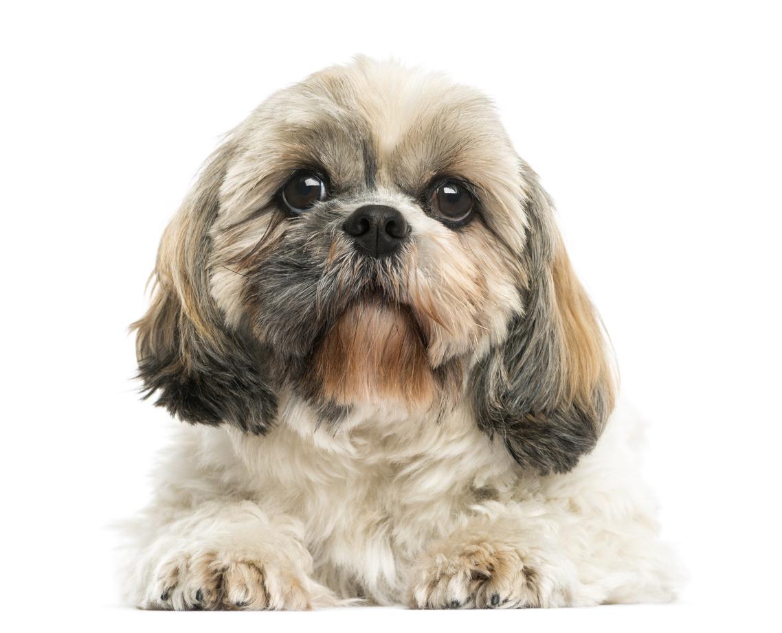 Shih Tzu Dogs And Cute Shih Tzu Puppies Cute Pet Dogs